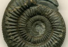 an ammonite fossil with a carved snake head