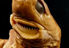 A cookie cutter shark specimen
