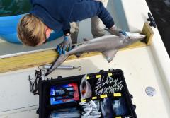A scientist measures the length of a shark