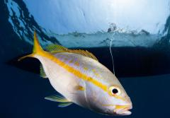 a yellowtail snapper is hooked by a fisherman