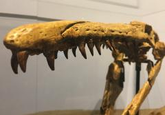 the skull of a mosasaur