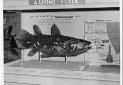an old museum display of a coelacanth