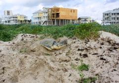 a sea turtle digs a nest near houses