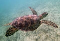 A green sea turtle swims