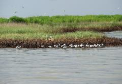 an oiled marsh area with birds