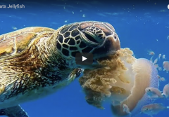 a sea turtle eats a jellyfish