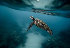 a sea turtle swims toward the surface