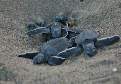 baby turtles emerge from nest