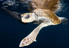 a loggerhead turtle swimming