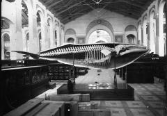 A half-cast and skeleton of a humpback whale in the National Museum