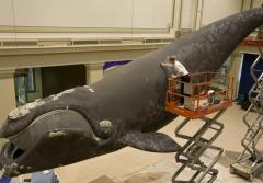 A painter sponges grey spots on the model whale