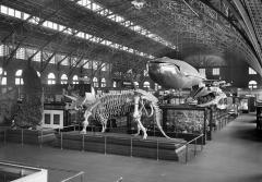 a triceratops skeleton and a blue whale model