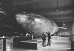 The 1903 blue whale in the Natural History Museum