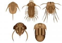 many different trilobites