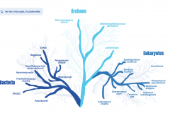 A tree that shows the different relationships between bacteria, archaea, and eukaryotes.