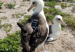 two albatross birds with trackers on their backs