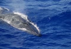 a Bryde's whale surfaces