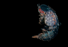 A translucent hyperiid on a black background with orange stripes along its head.