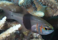 A small gray fish with two orange stripes, hides in between corals.