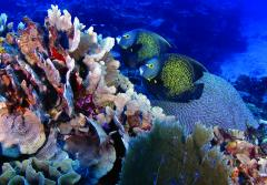Underwater image of two fish swimming near branching and boulder corals