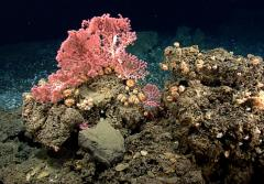 Bright bubblegum coral sits on a brown, hard substrate.