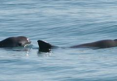 Photo of vaquita at the water's surface with its face plainly visible.