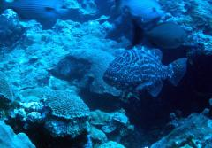A large black grouper swims amidst coral.