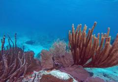 a sea fan grows over dead coral