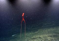 a deep sea squid