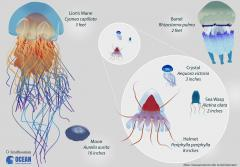 a comparison of multiple species of jellyfish