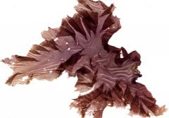 a frond of red algae