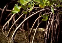 Arching mangrove roots help keep trunks upright in soft sediments at water's edge.