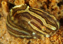 A snailfish, with brown and white stripes.