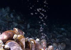 Bubbles of methane gas rise through a mussel bed in the Gulf of Mexico.