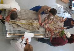 A giant squid dissection