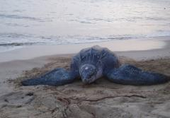 A leatherback sea turtle crawls across the sand at the Area de Conservacion Guanacaste site in Costa Rica.