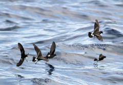 Band-rumped Storm-petrels (Oceanodroma castro) are quite a bit larger and heavier than Wilson's storm petrels, but share their amazing sense of smell, which they use to find food that may be miles away.