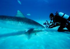 Brian Skerry takes an up close photo of a tiger shark on the seafloor.