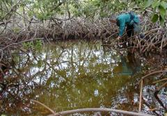 Dr. Candy Feller standing knee deep in a mangrove forest.