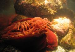 A bright red sea anemone clings to rocks underwater.