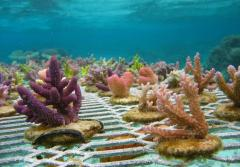 Purple, pink and green corals growing underwater on a metal fence-like substrate.