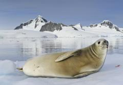 A white crabeater seal resting on an iceberg.