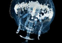 A translucent, female hyperiid surrounded by white young in a barrel-shaped body cavity.