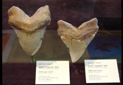 Fossils of teeth from Giant Megatooth Shark