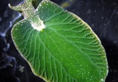 A bright-green sea slug with a black background.