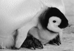 A emperor penguin chick sits under its mother's legs.
