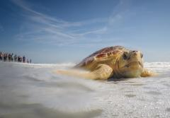 A Kemp's Ridley sea turtle is returned to the ocean.