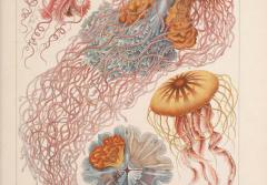 Jellyfish illustrations from Ernst Haeckel.