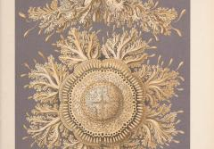 Haeckel discovered a species of rhizostome jellyfish in Bellagemma, Ceylon, in December 1881. Its form so impressed him that he used it as a model for ceiling decorations in his Villa Medusa home in Jena.