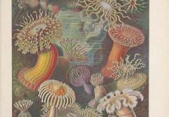 Sea anemone illustrations from Ernst Haeckel.